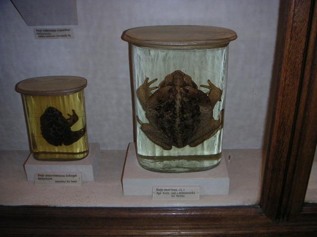 Agakröte (Bufo marinus)