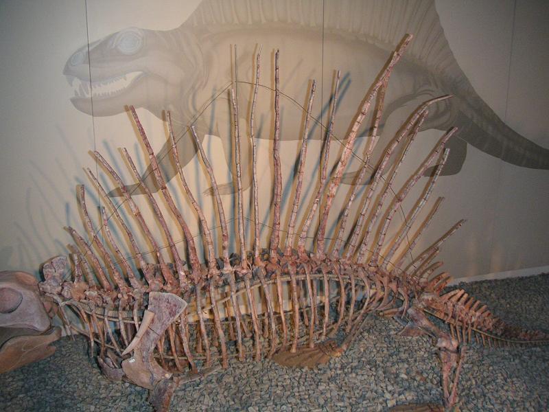 Dimetrodon-Skelett