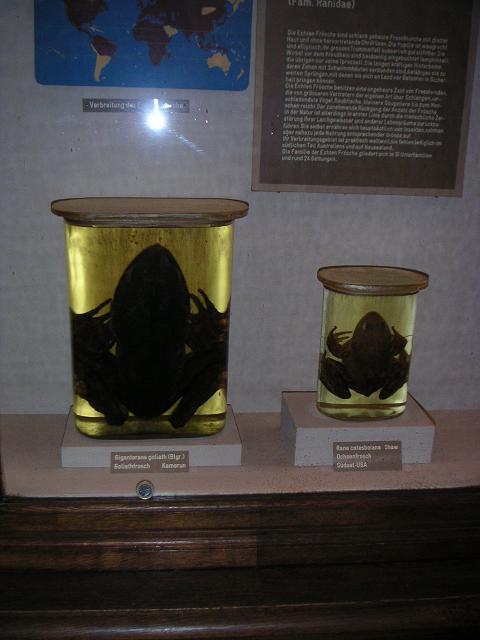 Goliathfrosch Gigantorana goliath