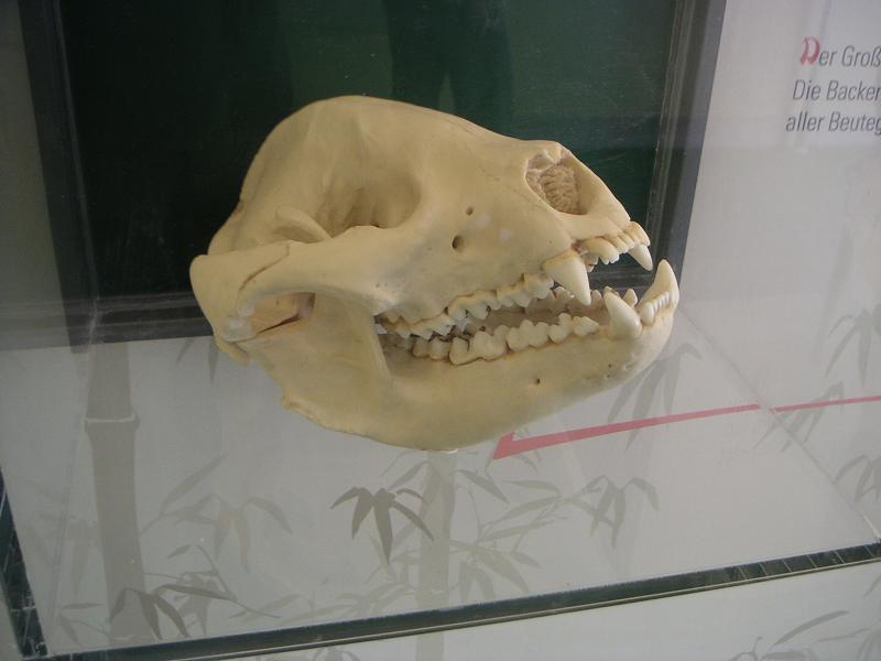 Panda-Schädel