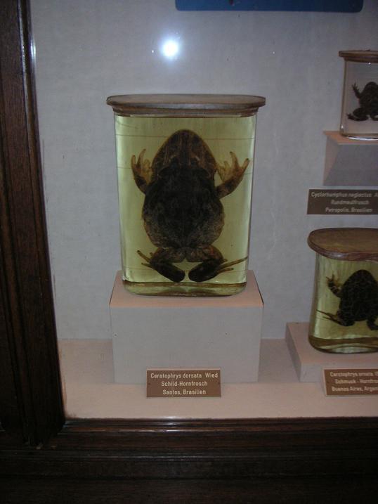 Riesenhornfrosch (Certophrys cornata)