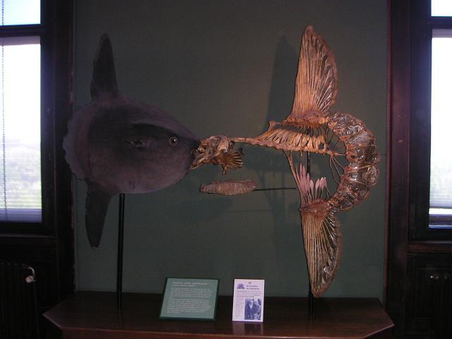 Mondfisch-Skelett