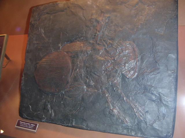 Megarachne-Fossil