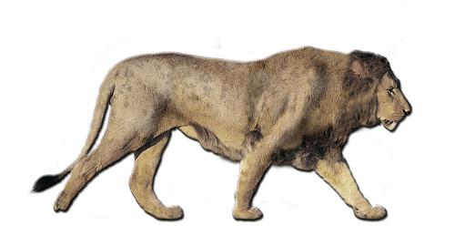 Panthera leo atrox mit Mähne