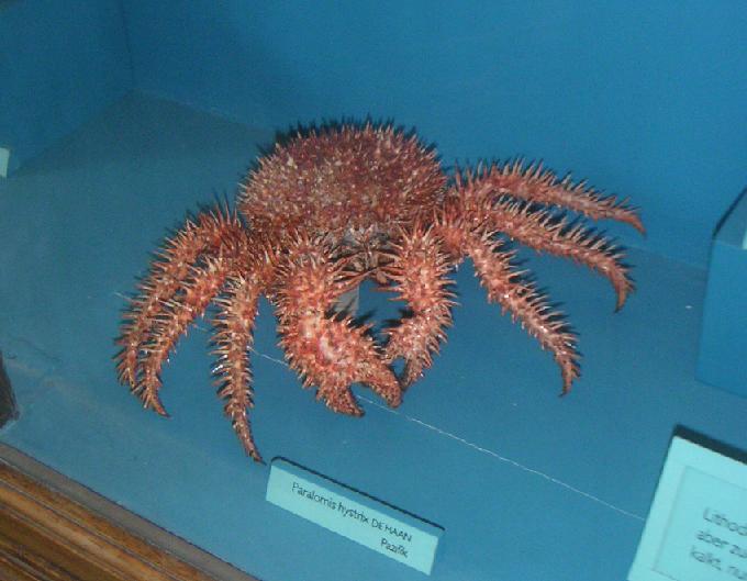 Paralomis hystrix