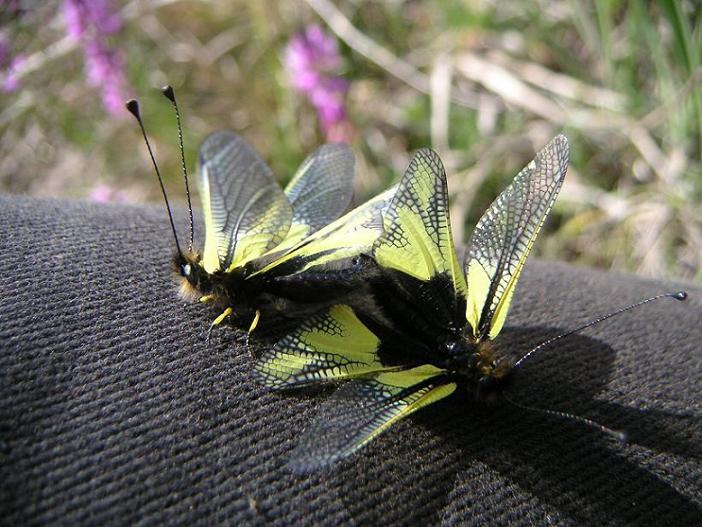 Schmetterlingshafte