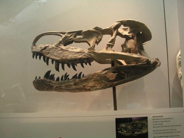 Schädel von Batrachotomus