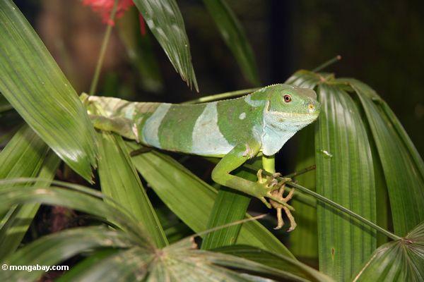 Fidschileguan Brachylophus fasciatus