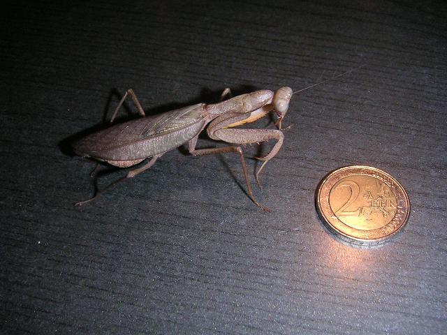 sphodromantis-lineola-41