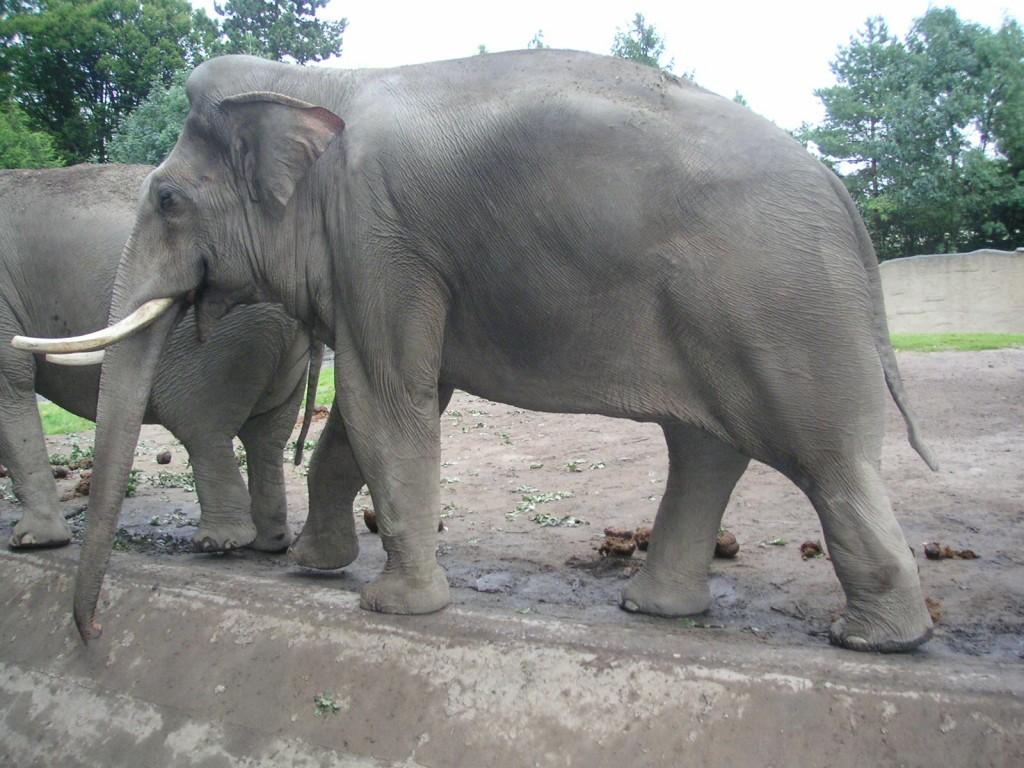huge-asian-elephant-bull1