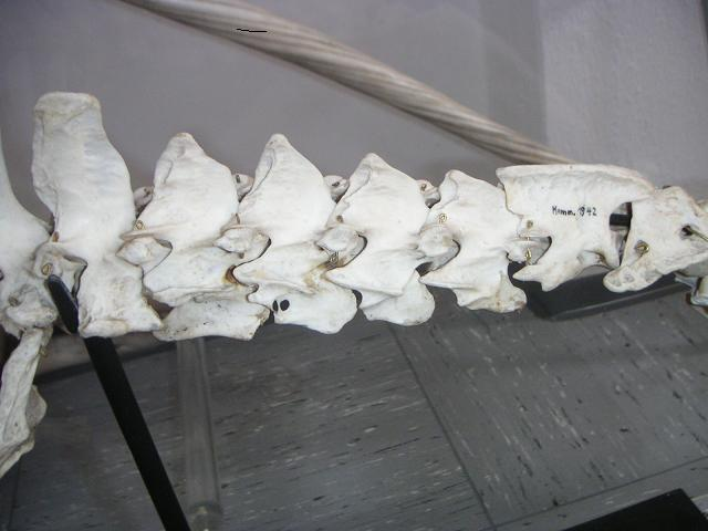 Halswirbel eines großen Ameisenbären