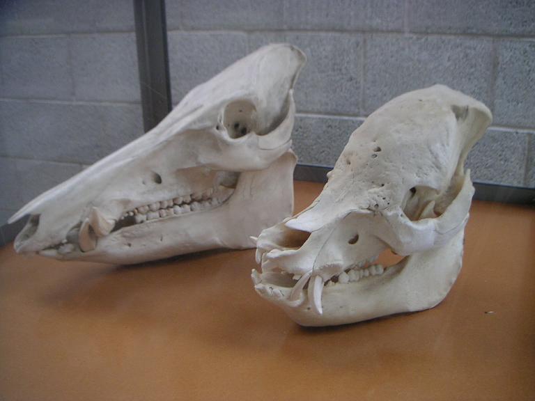 wildschwein-und-hausschwein-schadel