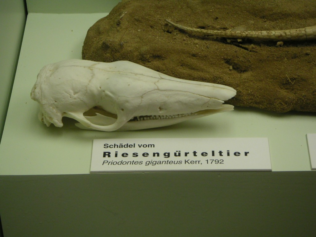 Schädel eines Riesengürteltier Priodontes giganteus