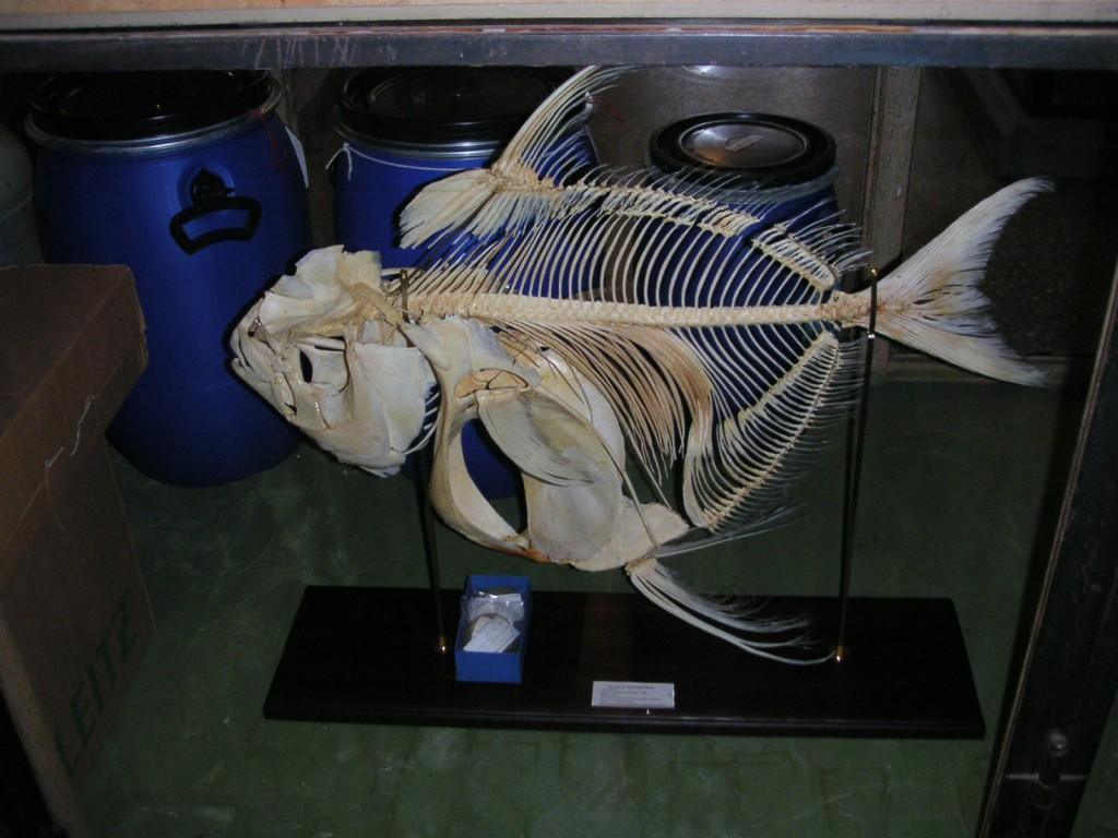 Gotteslachs Skelett