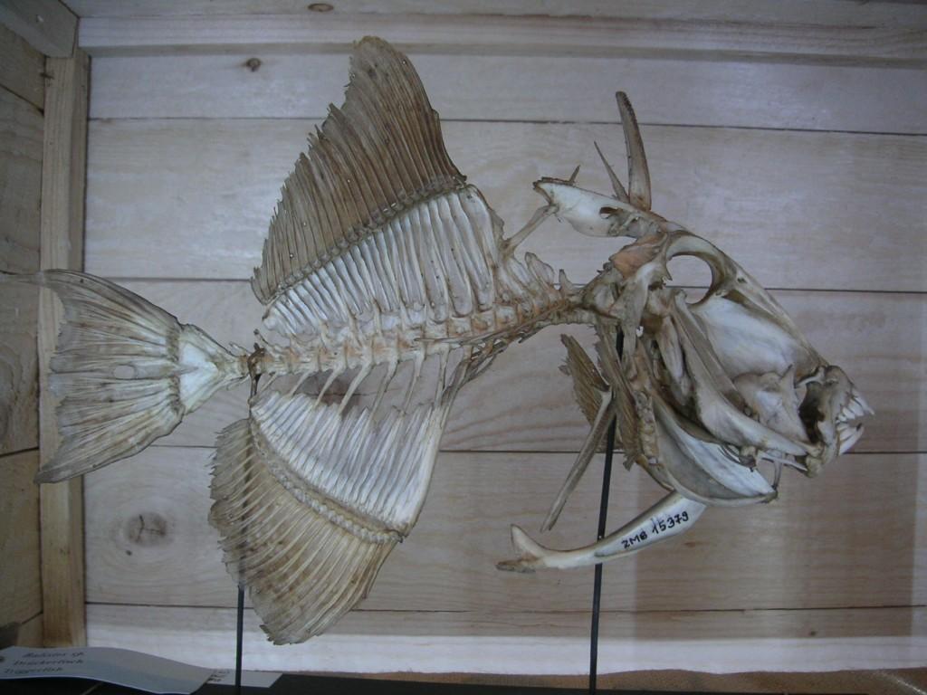 Drückerfisch Skelett