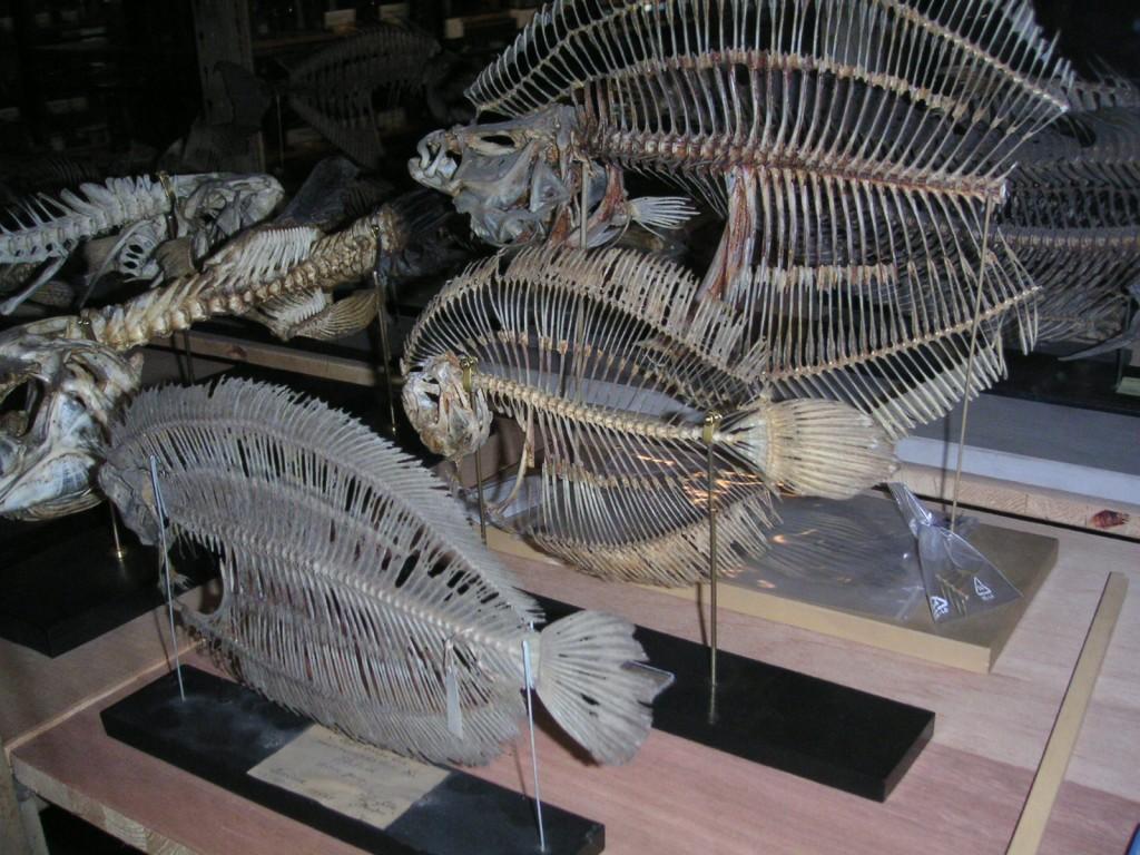 Plattfisch-Skelette