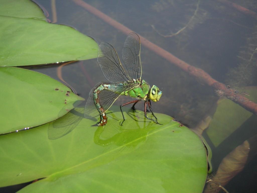 Libelle beim Ablegen ihrer Eier