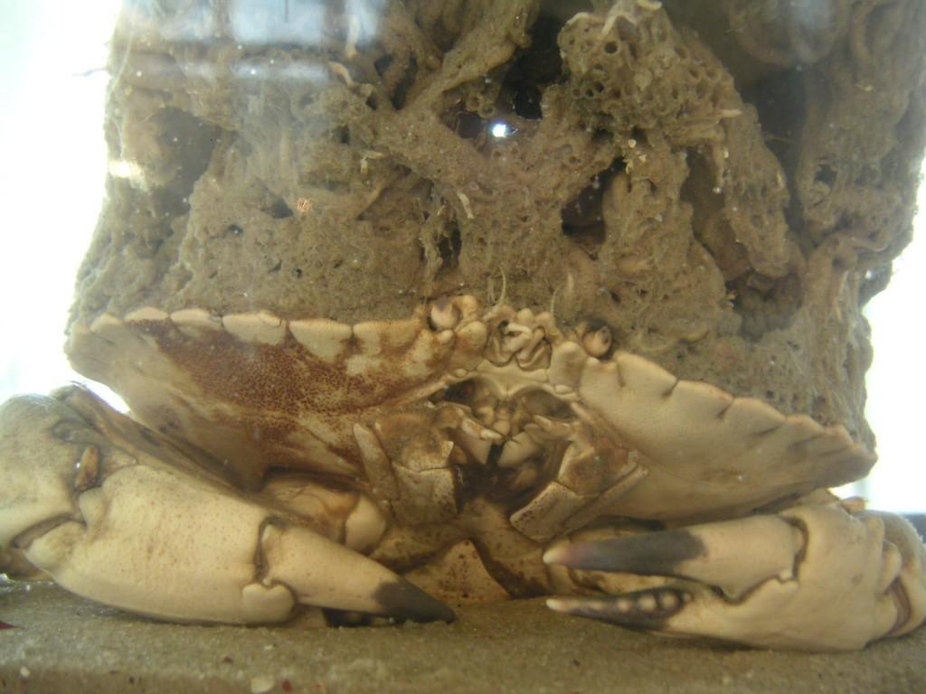 Taschenkrebs mit aufgewachsenen Sandröhrenwürmern