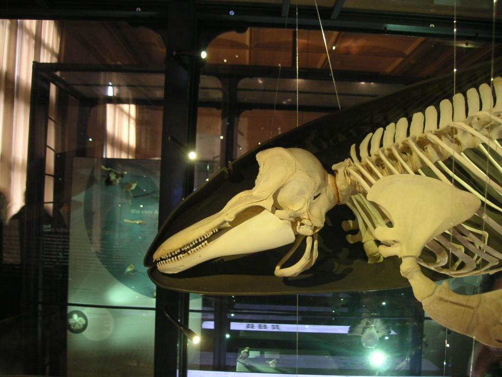 Schweinswal Skelett