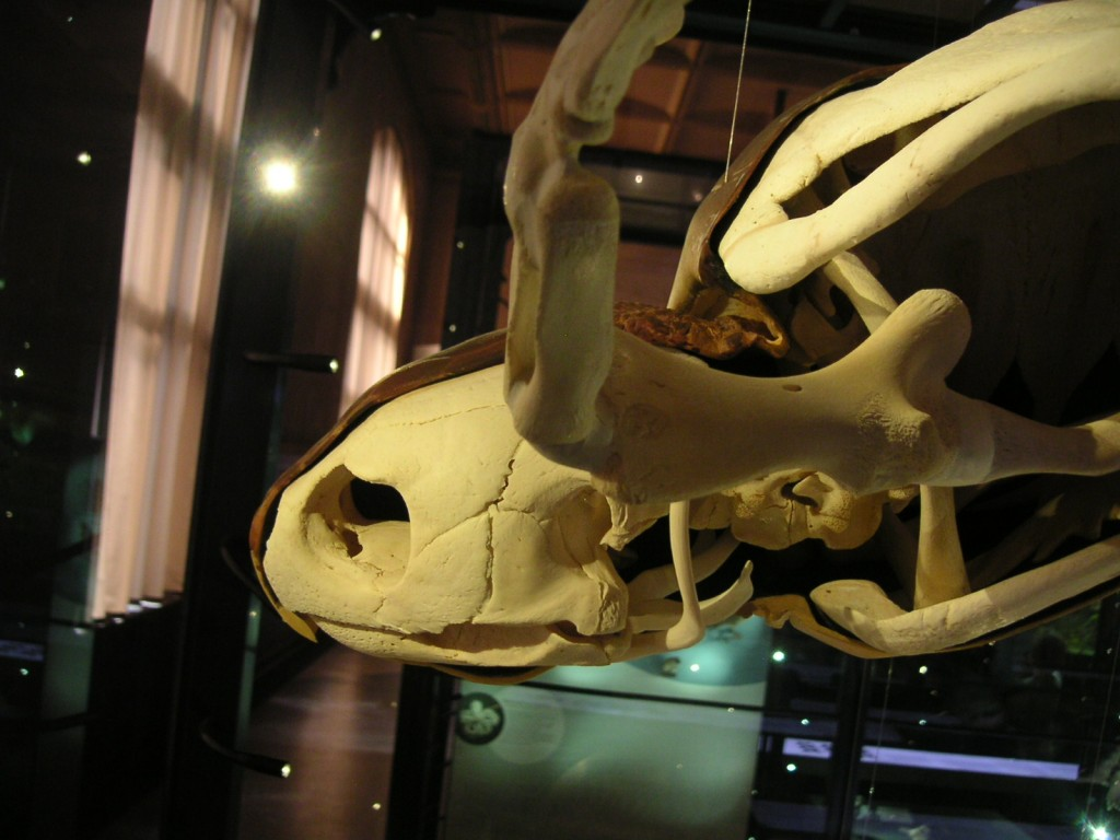 Schildkröte Skelett