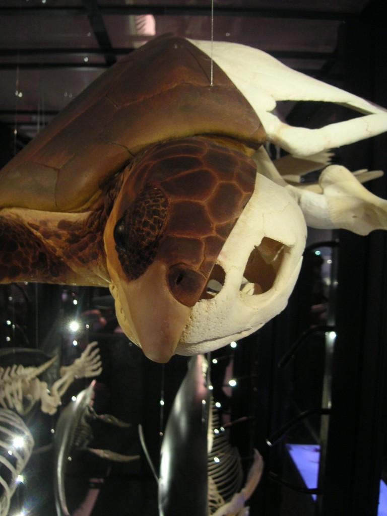 Schildkröte Schädel frontal