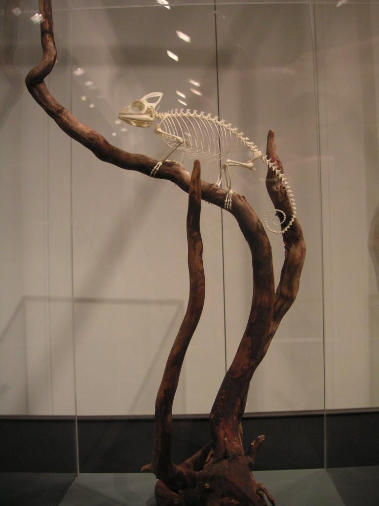 Kleine chameleon arten for Kleine teichfische arten