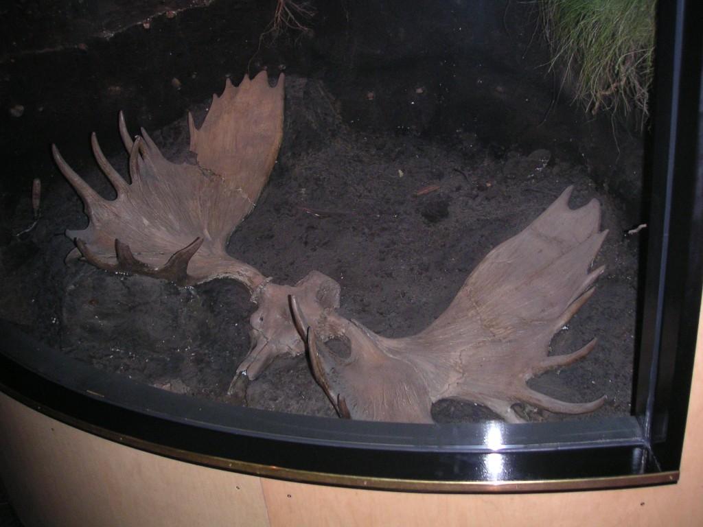 Elchschädel fossil Spannweite 1,65 m