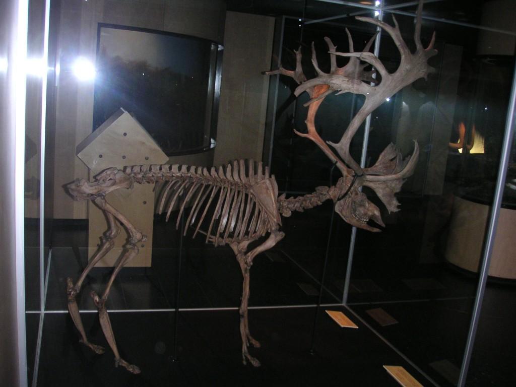 Rentierskelett 14400 Jahre alt Odense (3)
