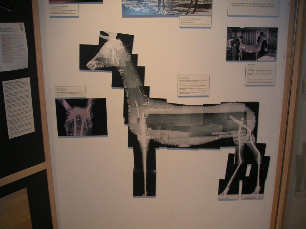 evtl. ältestes Hirschpräparat der Welt in Hörsholm, Dänemark