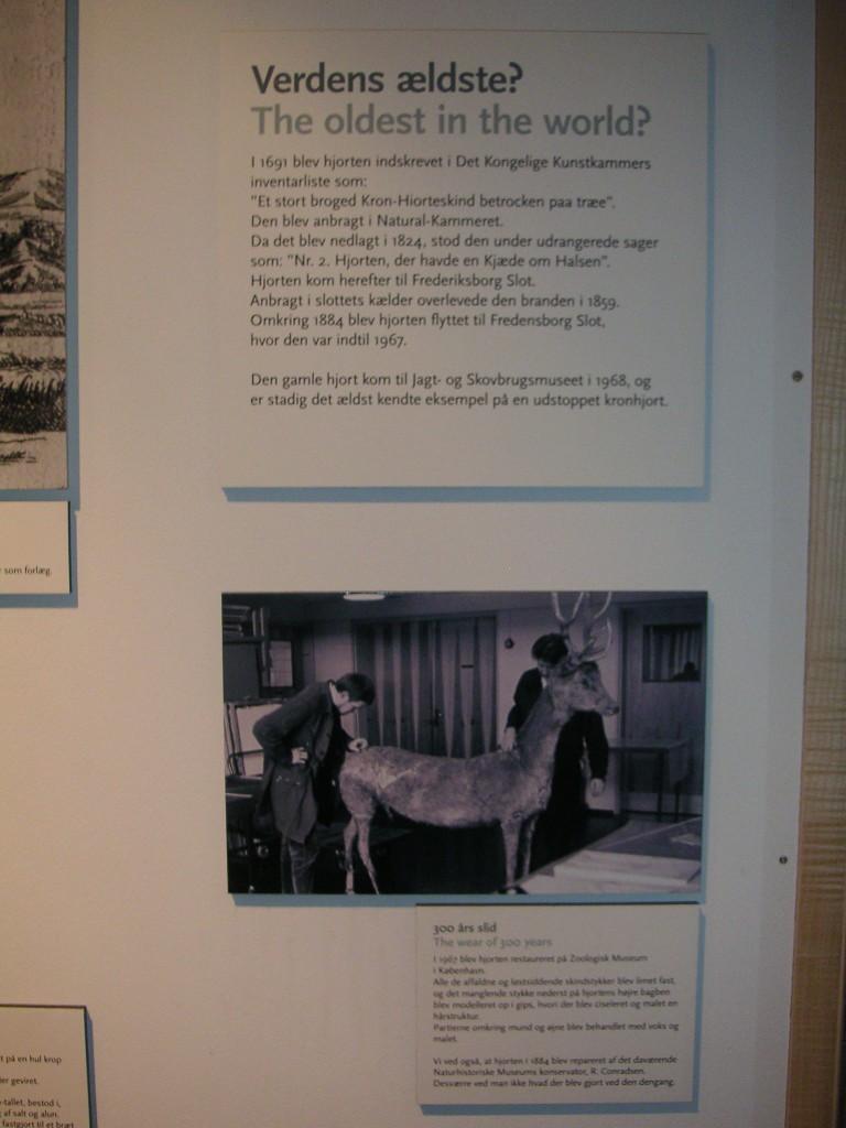evtl. ältestes Hirschpräparat der Welt in Hörsholm, Dänemark (3)
