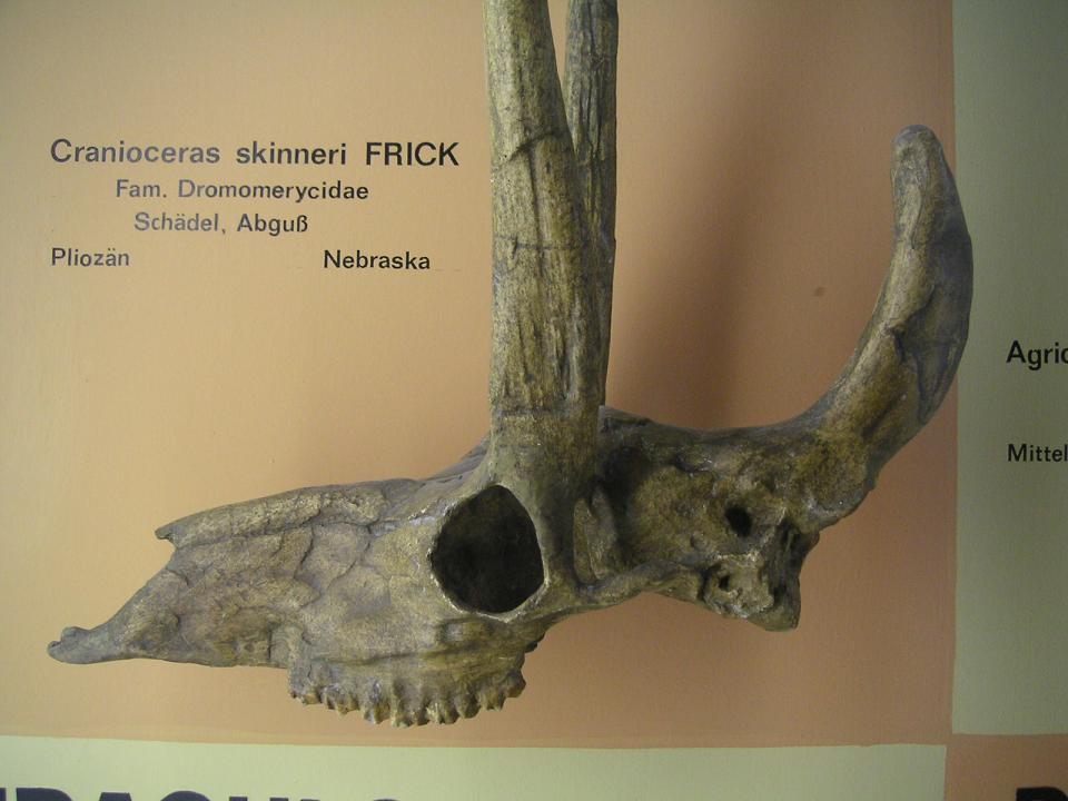 Prcranioceras skinneri (3)