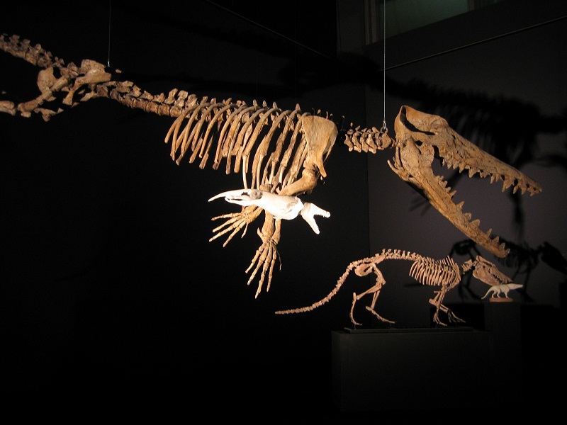 Ambulocetus Skelett (Quelle Wikipedia)