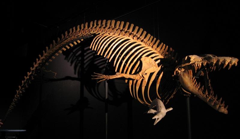 Cynthiacetus Skelett (Quelle Wikipedia)