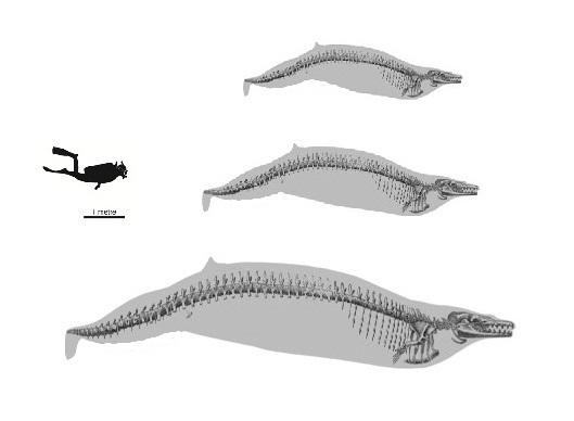 Dorudon atrox, Cynthiacetus und Masracetus markgrafi