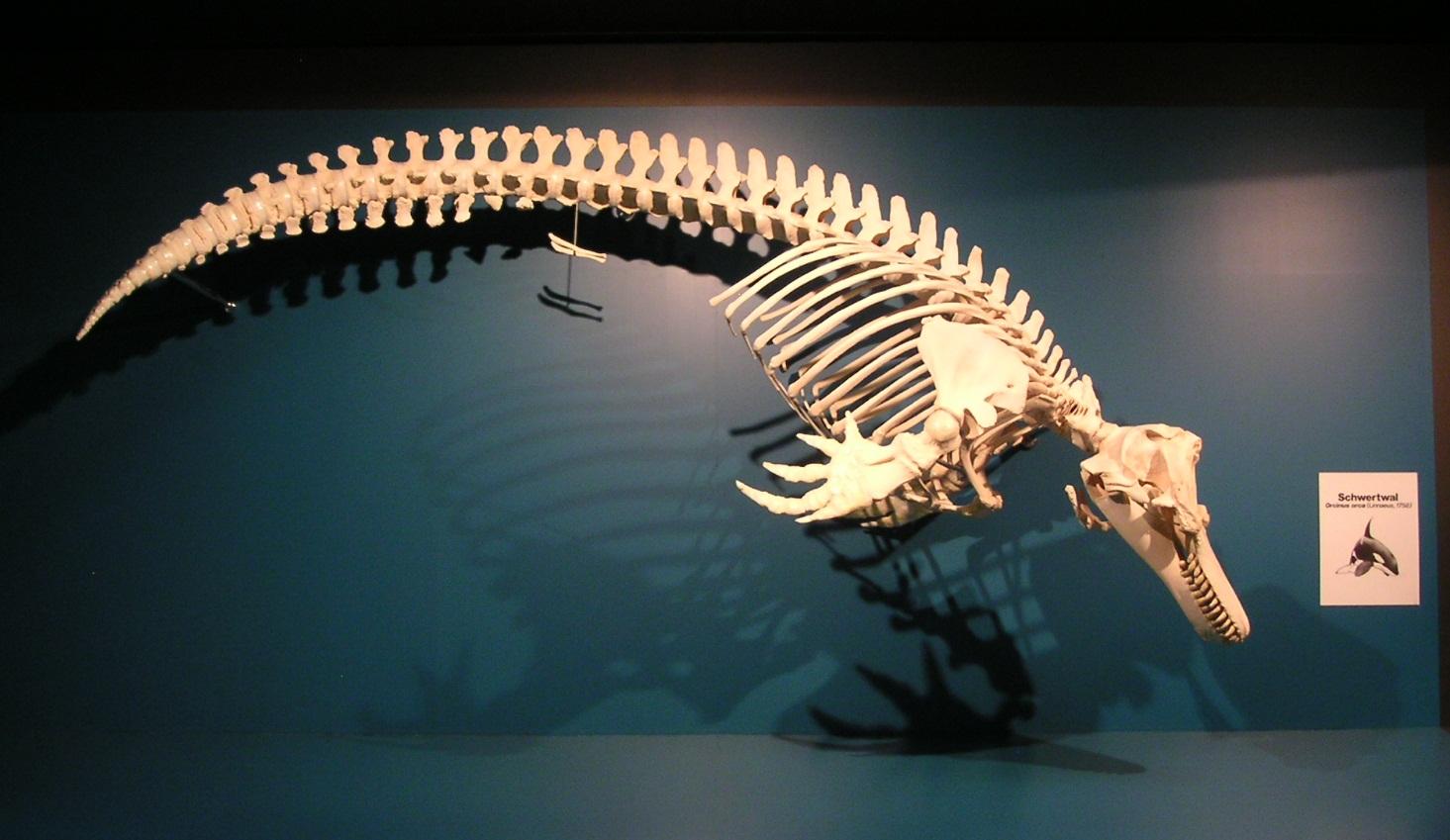 Orca-Skelett, Zoologisches Museum Hamburg
