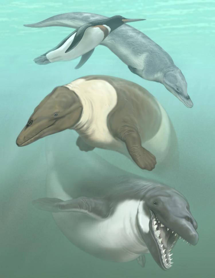 Perudyptes devriesi, unnamed protocetid, Ocucajea picklingi, and Supayacetus muizoni