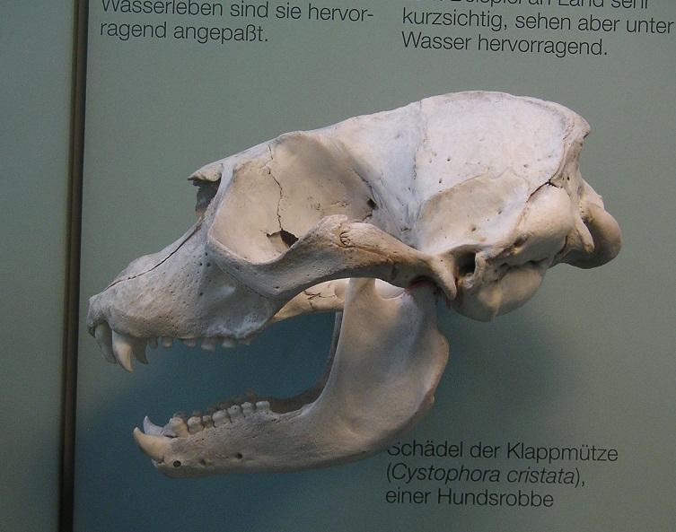 Klappmützen-Schädel Rosensteinmuseum