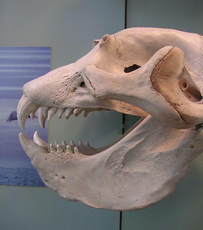 Seeelefanten-Schädel Rosensteinmuseum (1)