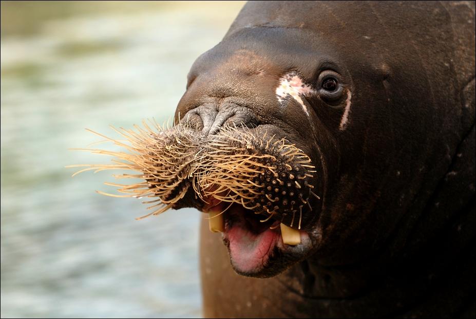 Walross Hagenbeck Zoo by Katja Haase