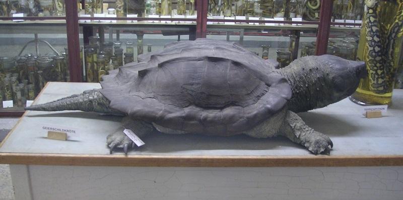 Geierschildkröte im Museum für Naturkunde in Berlin