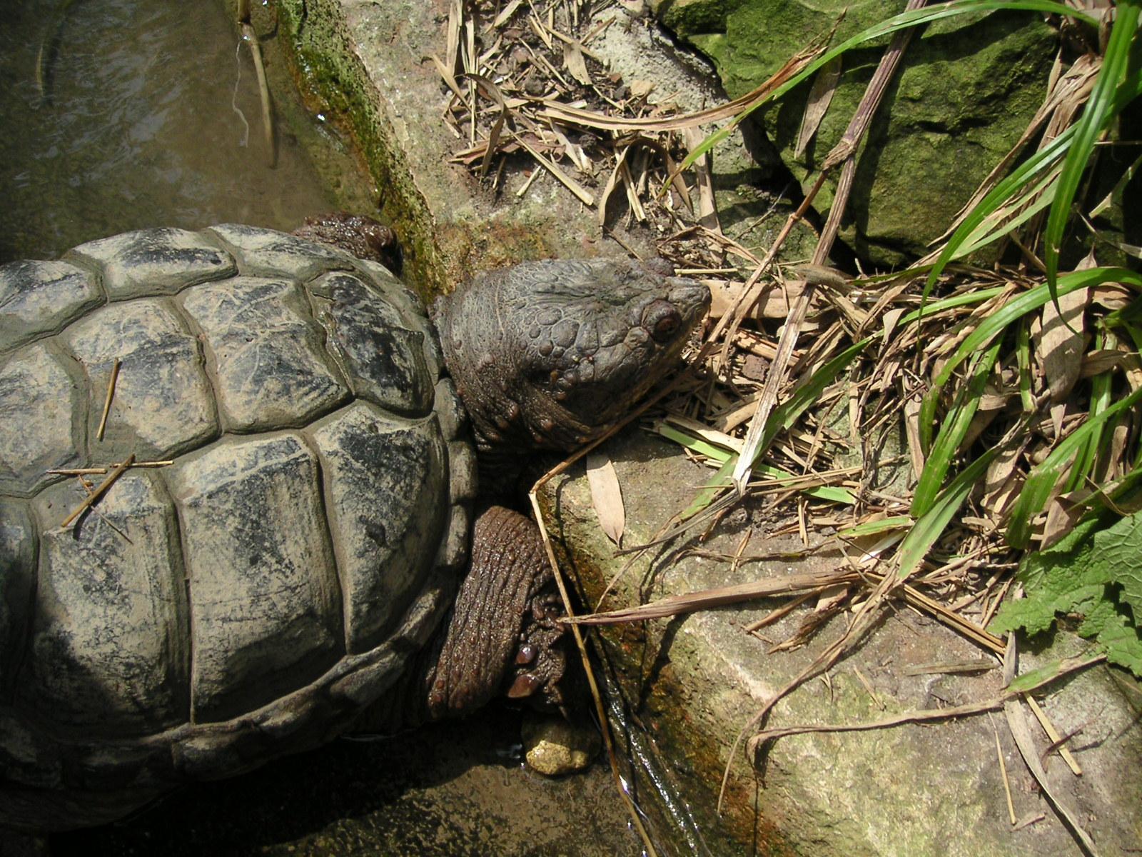 Schnappschildkröten im Nymphaea Tierpark, Esslingen (6)
