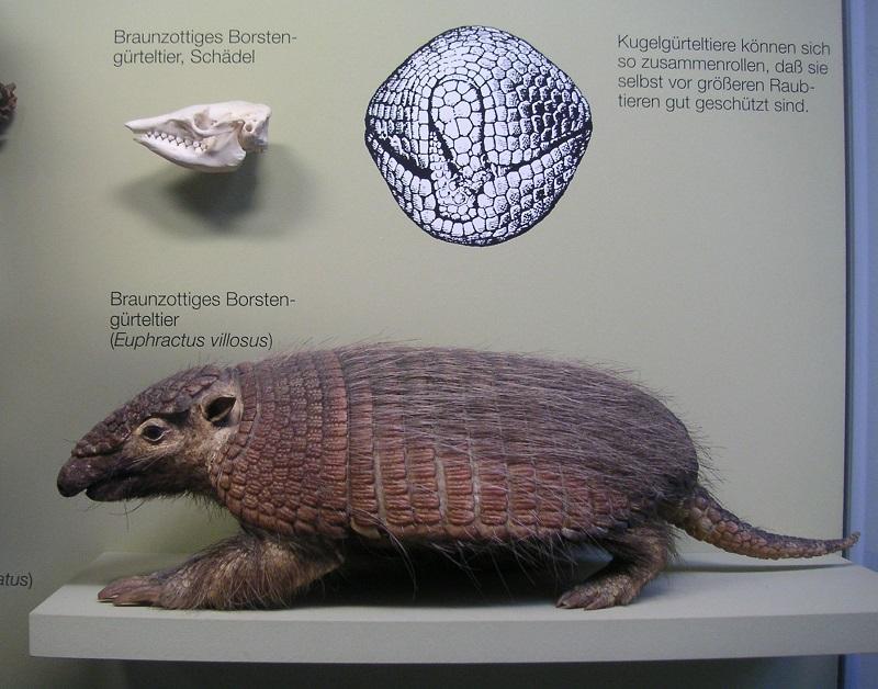 Braunborsten Gürteltier Rosenstein-Museum