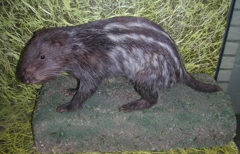 Pakarana Zoologische SchausammlungHeidelberg