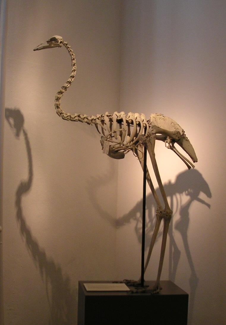 Emu-Skelett im Zoologischen Museum Kiel