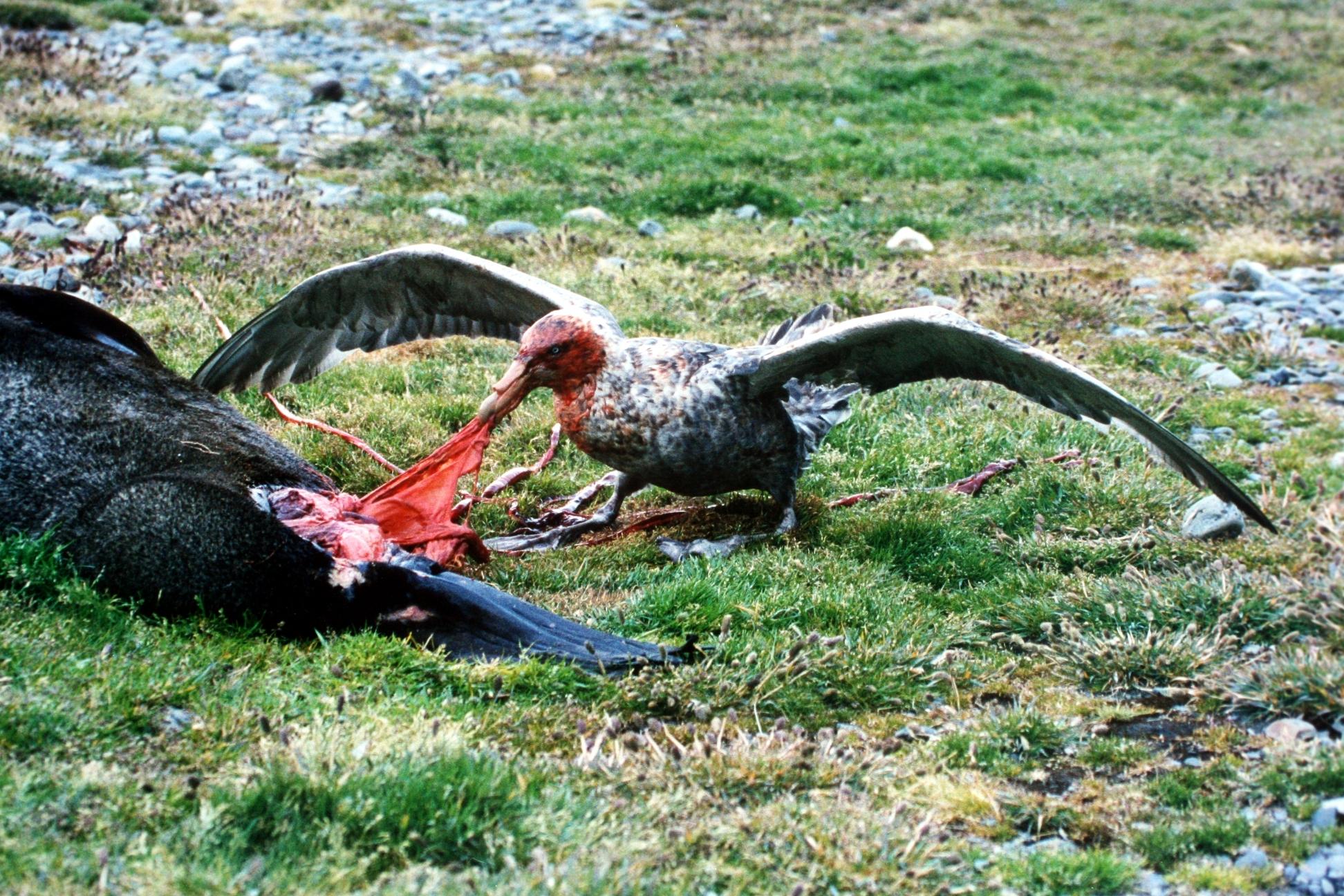 Riesensturmvogel an Robbenkadaver (von Wikipedia)