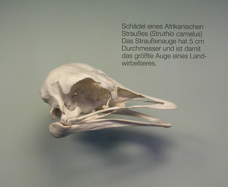 Bilder des Tages: Schädel, Knochen und Skelett vom Strauß | Bestiarium