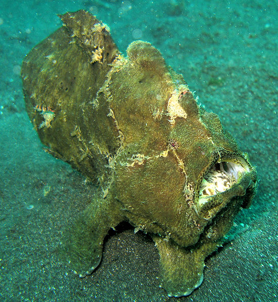 551px-Giant_FrogFish