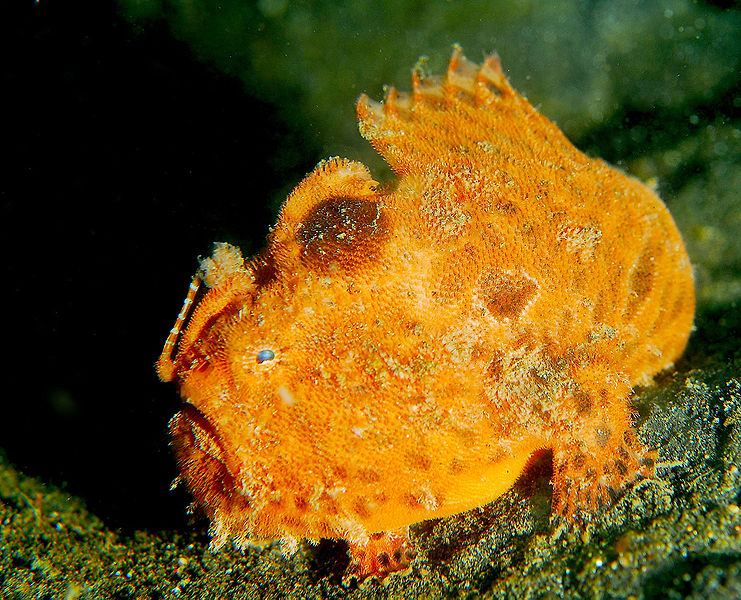 741px-Frogfish1