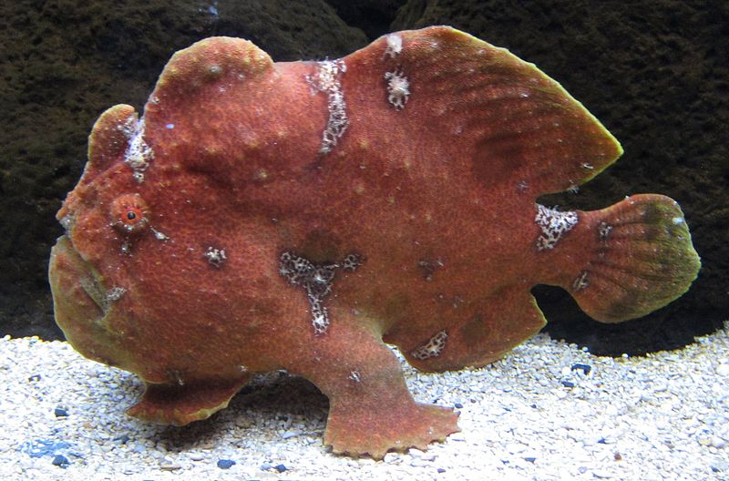 800px-Commerson's_frogfish_(Antennarius_commerson)_in_Waikiki_Aquarium