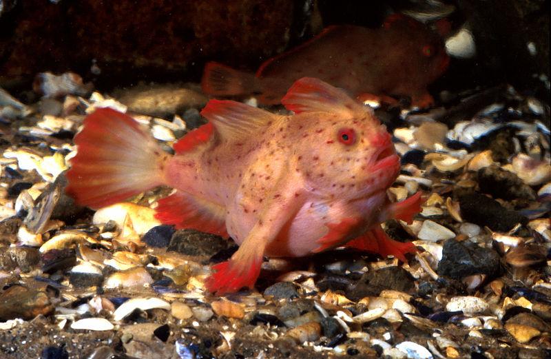 CSIRO_ScienceImage_2535_The_Red_Handfish